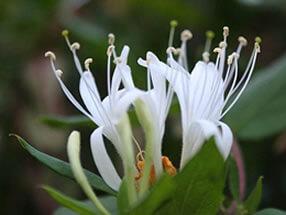 Hanımeli Çiçeği